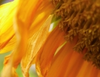 sunflower (09/2012)